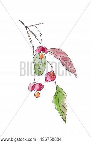Euonymus Ornamental Shrub With Fruits And Autumn Leaves Watercolor Drawing, Spindle Euonymus Europae