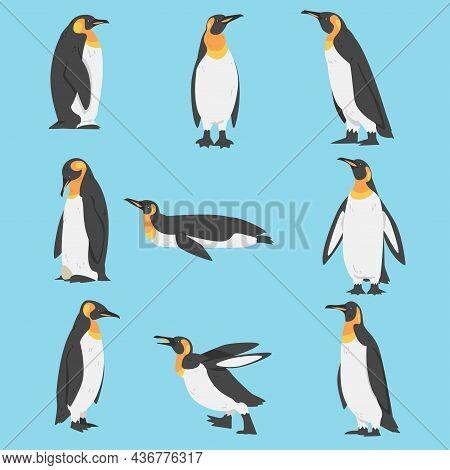 Emperor Penguin As Aquatic Flightless Bird With Flippers For Swimming Vector Set