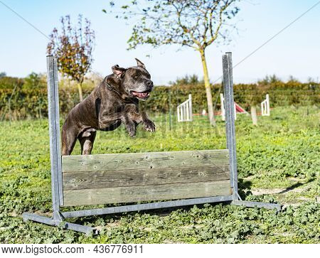 Jumping Italian Mastiff In A Training For Obedience