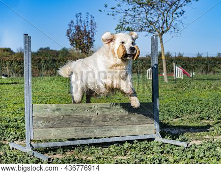 Jumping Golden Retriever In A Training For Obedience