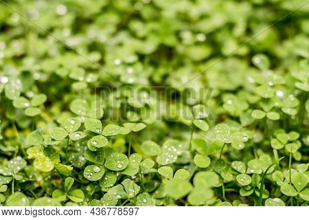 Green Clover Trefoil Meadow After The Rain With Raindrops On The Leaves. Green Nature Background