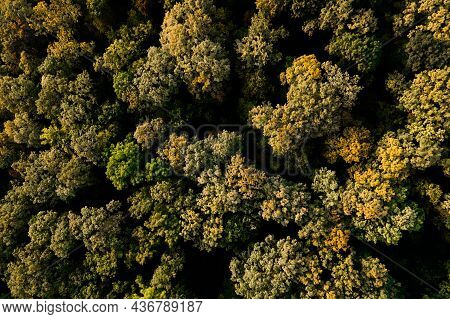 Top Down View Of Autumn Forest, Fall Woodland Aerial Shot. Top Aerial View Of Colourful Forest Beaut