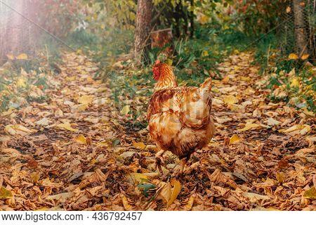 Beautiful Red Hen Walking Free On Farmyard. Countryside Life. Autumn Colors. Careful Attitude To Ani