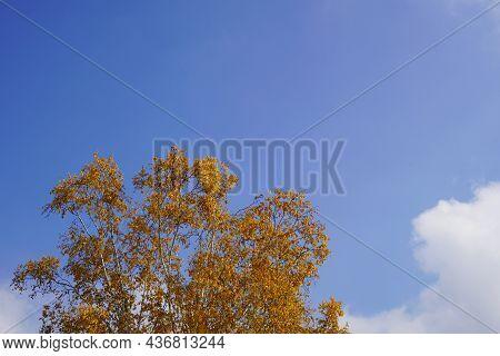 Die Baumkrone Einer Stattlichen Birke Im Warmen Herbst Sonnenlicht . Die Blätter Strahlen Goldgelb U