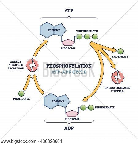 Phosphorylation Atp, Adp Cycle With Detailed Process Stages Outline Diagram. Labeled Educational Ene