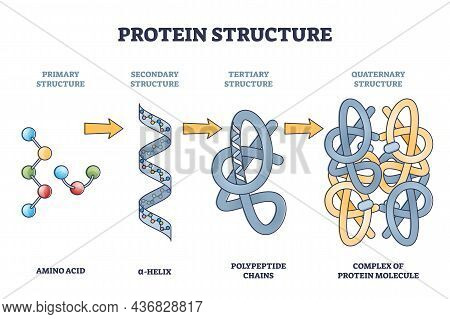 Protein Structure Levels From Amino Acid To Complex Molecule Outline Diagram. Labeled Educational Pr
