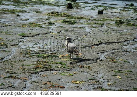 Young Seagull Herring Gull Standing On A Wet Beach Turning Back   Young Gull On Wet Sand With Green