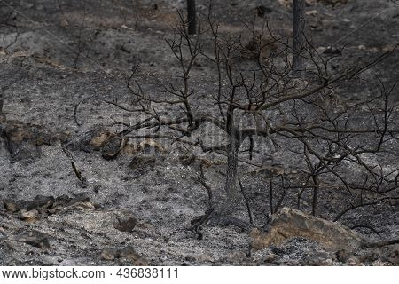 A Burnt Tree After A Wildfire In The Mediterranean Woodland On The Judea Mountains Near Jerusalem, I