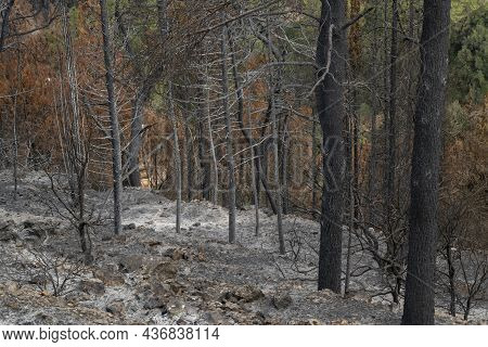 Burnt Trees After A Wildfire In The Mediterranean Woodland On The Judea Mountains Near Jerusalem, Is