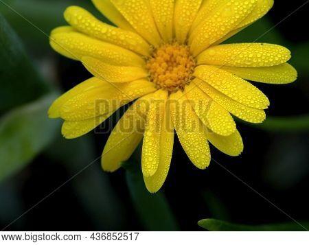 Flower Of Calendula With Rain Drops, Macro