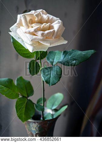 Beautiful Fading Cream Rose In A Vase