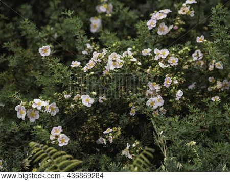 Bee Collects Pollen From Pink Flowers. Bush With Flowers In Bloom. Natural Background With Insects F