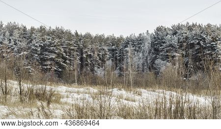Panorama View Of Field With Dried Grass And Coniferous Forest. Natural Background With Trees Under S