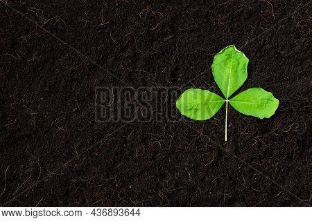 Top View Of Green Leaves On Fresh Black Soil With Mulch For Gardening, Black Land, Concept Of Global