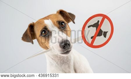 Dog Jack Russell Terrier Holding A Sign Dogs Are Not Allowed On A White Background.