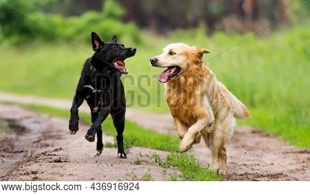Golden retriever dog and black shepherd running together with mouths opened outdoors in sunny day. Two purebred doggie pets playing at nature