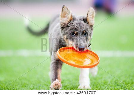 Little Border Collie Puppy Running