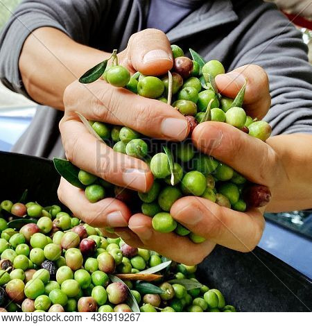 closeup of a young caucasian man with a handful of olives in his hand freshly collected in an olive grove in Catalonia, Spain