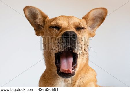 Funny dog yawning. Head of a mixed-breed fawn dog facing the camera with mouth wide open showing tongue and eyes closed isolated against a white background