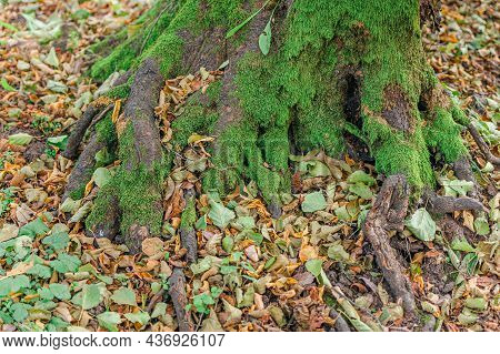 Large Roots Of Old Tree In Autumn.natural Background. Beautiful Intertwining Roots Of Trees Covered
