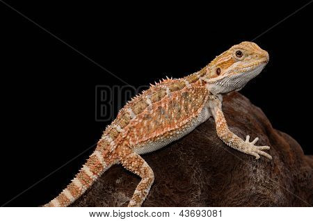 beautiful young normal phase bearded dragon (Pogona vitticeps) poster