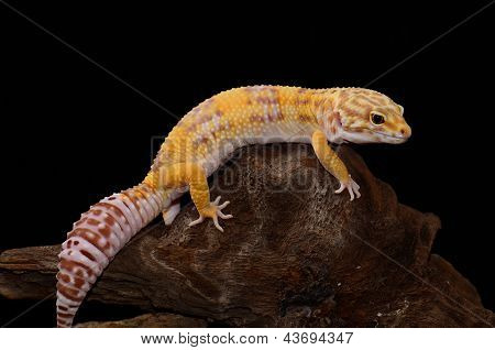 Female Tremper Albino Leopard Gecko (eublepharis Macularius)