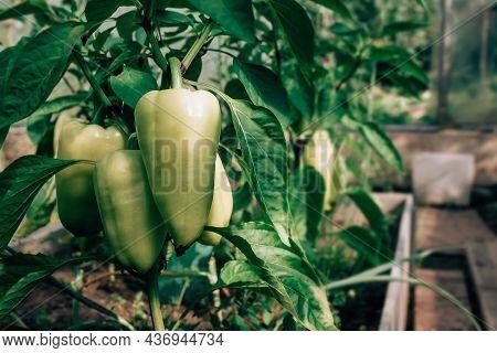 Sweet Green Pepper Harvest In Greenhouse On Farm. Close-up. Pepper Bush. Growing Eco Organic Vegetab