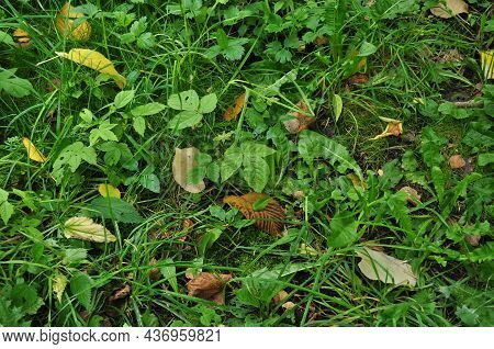 Texture Of Green Grass And Yellow Leaves. Autumn, Fallen Leaves From Trees To The Ground.