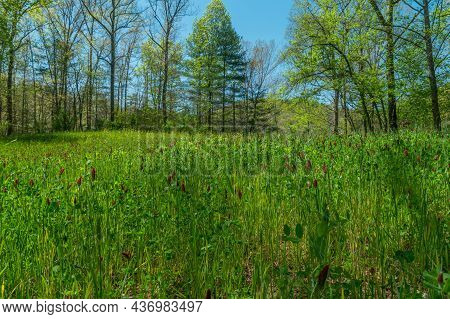 Closeup View Of Bright Color Crimson Clover Blooming In A Field Mixed With Tall Grasses With The Woo