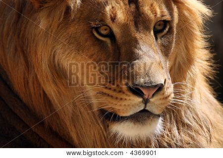 Closeup of a beautiful African Lion watching something. poster