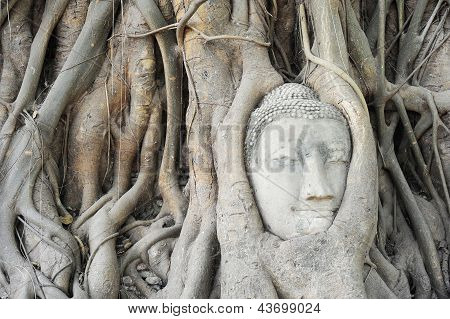Buddha Head's In Tree Roots