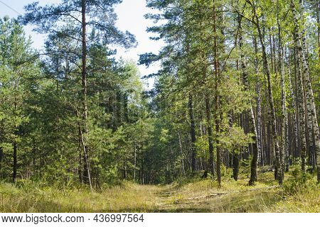 Beautiful Summer Trees Landscape With A View Of The Pine Forest. Forest Road In Belarus