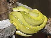 A Green Tree Python Coiled on a Branch After Shedding its Skin poster
