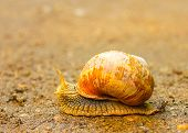 Outdoor close-up of brown snail moving on the ground poster