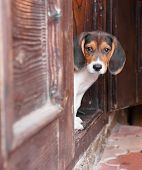 Portrait of a cute Beagle puppy sitting on doorstep.Sad look. poster