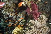 coral and fish taken in the red sea. poster