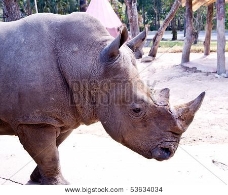 Asia rhino