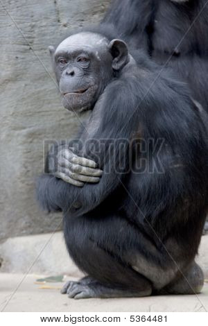 Old Man Chimp