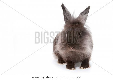 Grey Bunny Rabbit on White Background