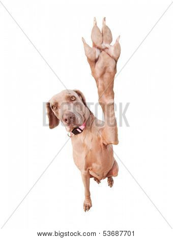 Weimaraner dog doing a high five with her paw, focus on eyes, isolated on white poster