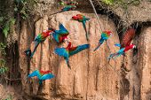 macaws in clay lick in the peruvian Amazonian jungle at Madre de Dios poster