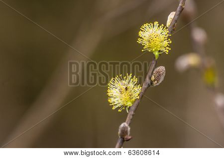 Colorful Willow Seed At Springtime
