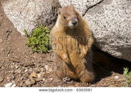 Upright yellow-bellied marmot
