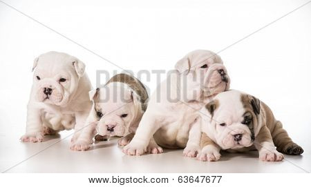 litter of english bulldog puppies - 4 weeks old