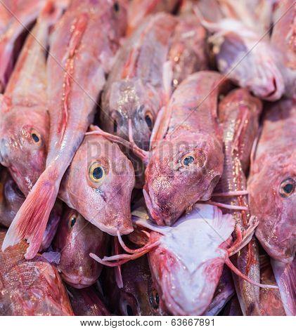 Piled Tub Gurnard Sea-fish In A Market Stall