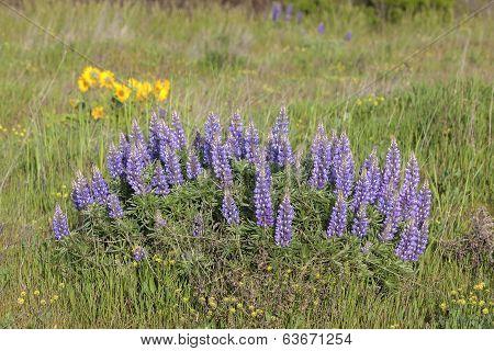 Broadleaf Lupine Flowers Blooming In Spring