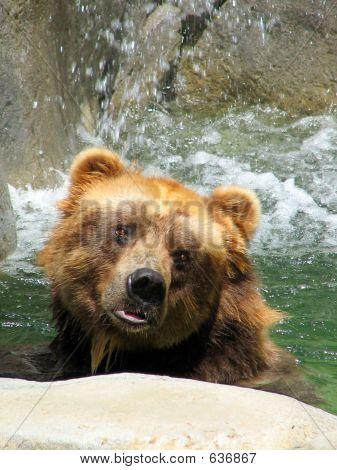 Brown Bear-Posed