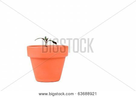 Terracotta Planter With Small Tomato Plant