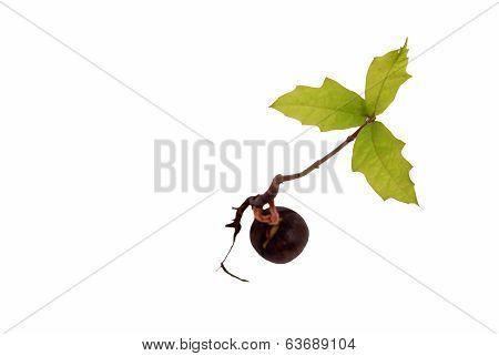 Tree Seedling Oak From Above