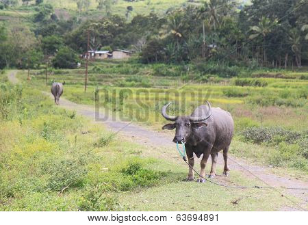 Buffalo in Flores Indonesia
